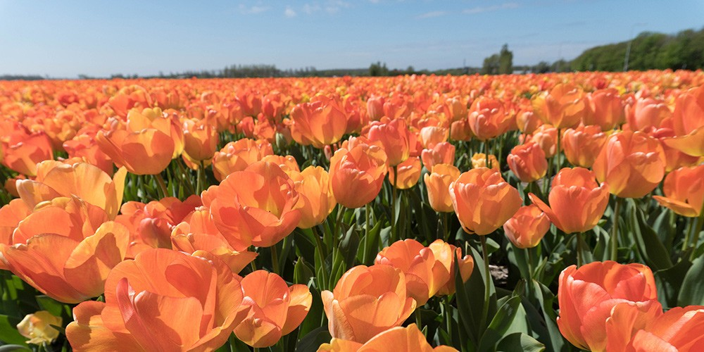 Tulip Tour North Holland