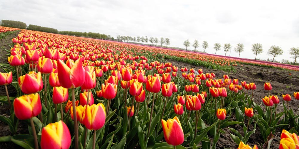 Tulip Tour with Boat & Bike