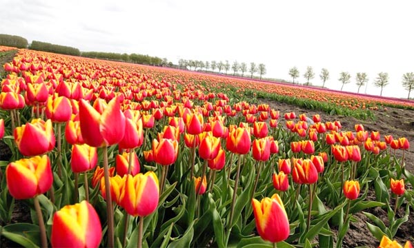 cycling holidays holland Tulip Tours